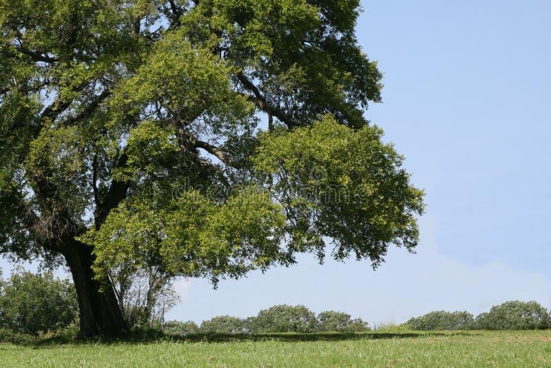 Big Shade Tree Royalty Free Stock Photos