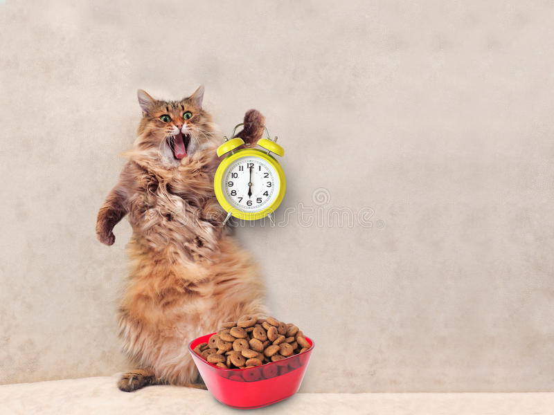 The big shaggy cat is very funny standing.clock , feed 1 stock photography