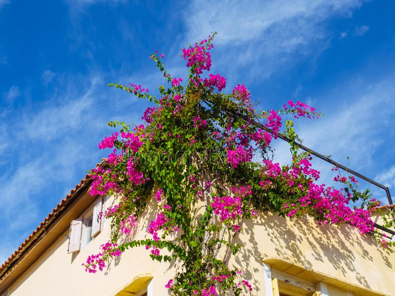 Big shrub of Bougainvillea flowers growing on the side of the house royalty free stock image