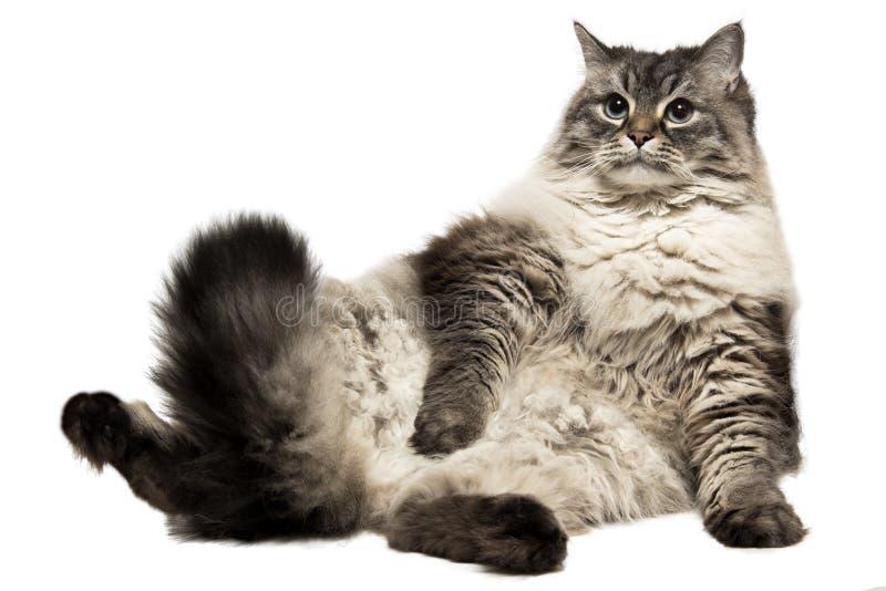 The big Siberian domestic cat stock images