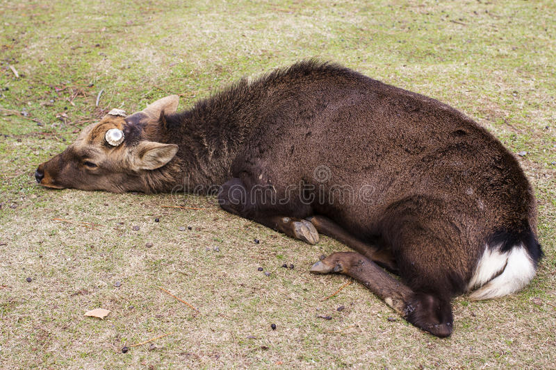 Big Sika Male deer cut antler sleep and lying in the park royalty free stock images