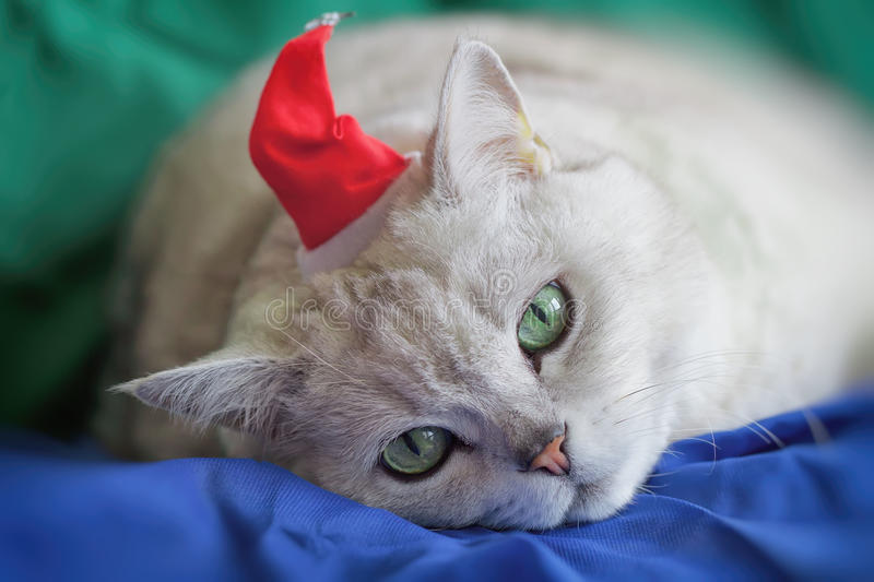 Big silver British cat in red Christmas hat tired of the bustling New Year holidays, he was today Santa Claus, on vivid. Bright background. Festive holidays royalty free stock photos
