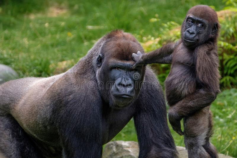 Big Silverback Gorilla and his little step brother who is very proud on his big brother stock photo