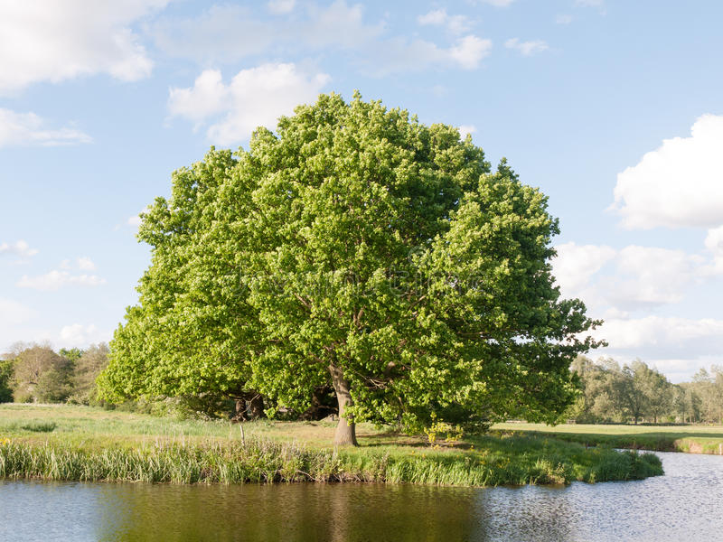 A big single oak tree at the side of a river in detail in the sunny summer light late afternoon lush along the river stour in. Dedham of essex england in the uk stock image