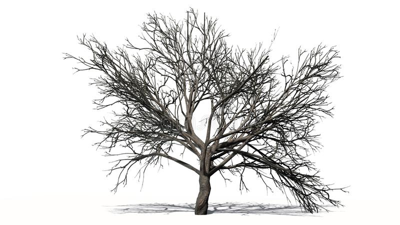 Big single peach tree in the winter - separated on white background royalty free stock photography