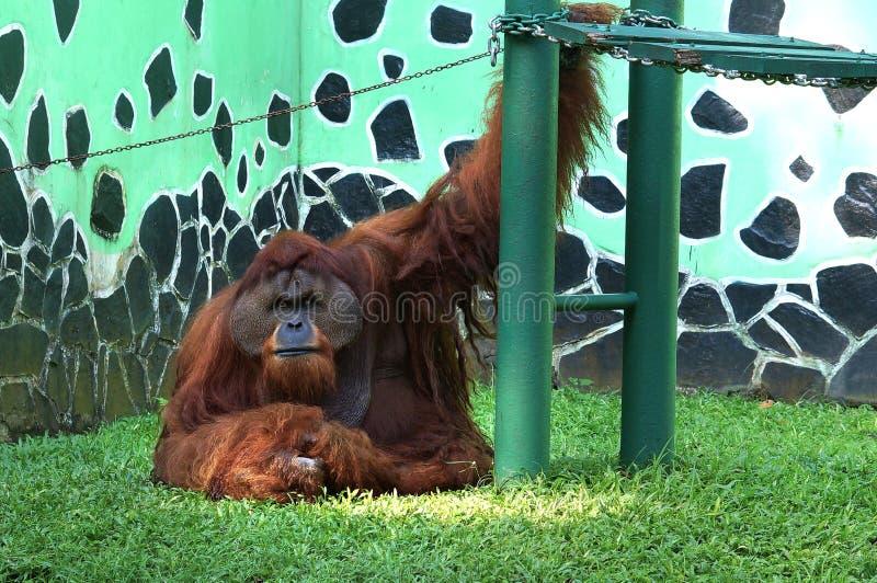 Big size orangutan sit besides it`s playground at zoo royalty free stock photo