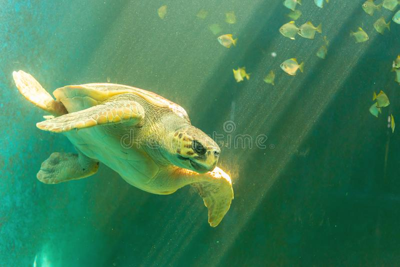 Sea turtle swimming stock images