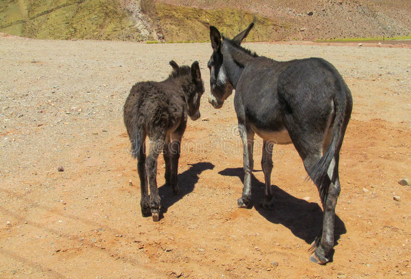 Big and small black donkey royalty free stock photos