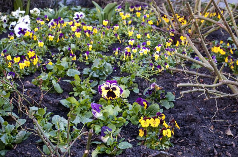 Big and Small multicolored Pansies growth in garden stock images