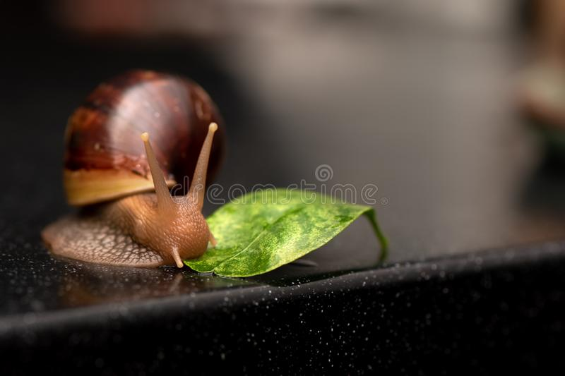 Big snail Achatina eating green leaf on a dark background.  royalty free stock images