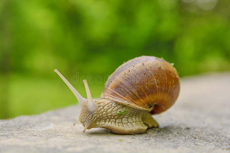 Big snail in shell crawling on road, summer day with bokeh royalty free stock photos