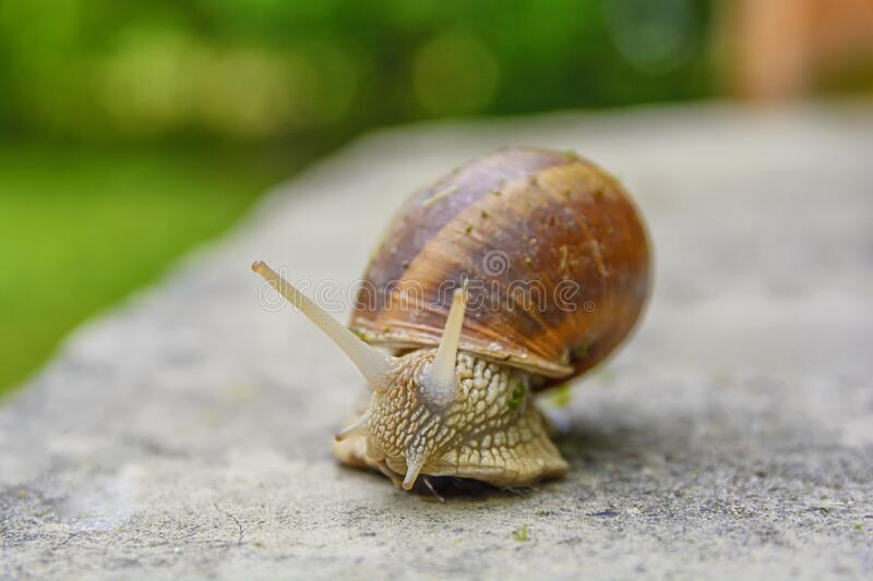 Big snail in shell crawling on road, summer day with bokeh bg royalty free stock photos