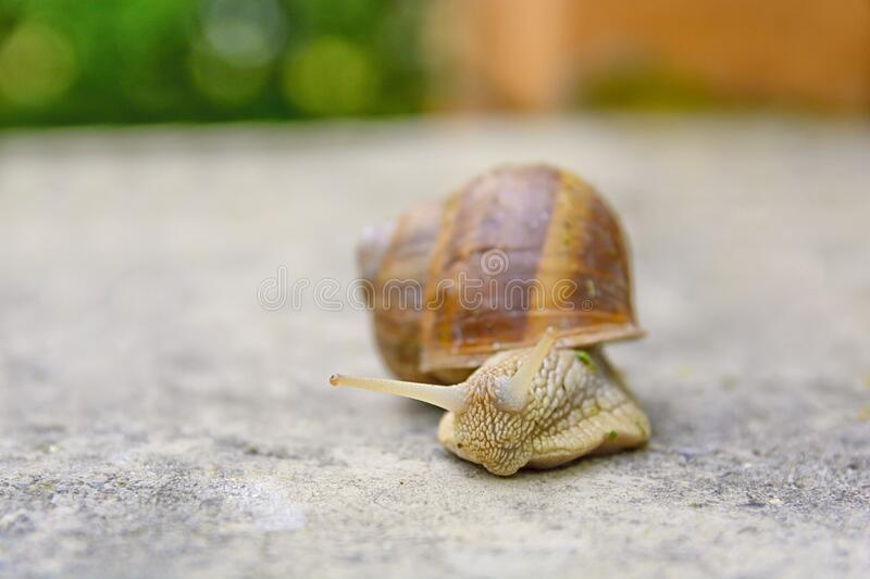 Big snail in shell crawling on road, summer day in green garden stock photos