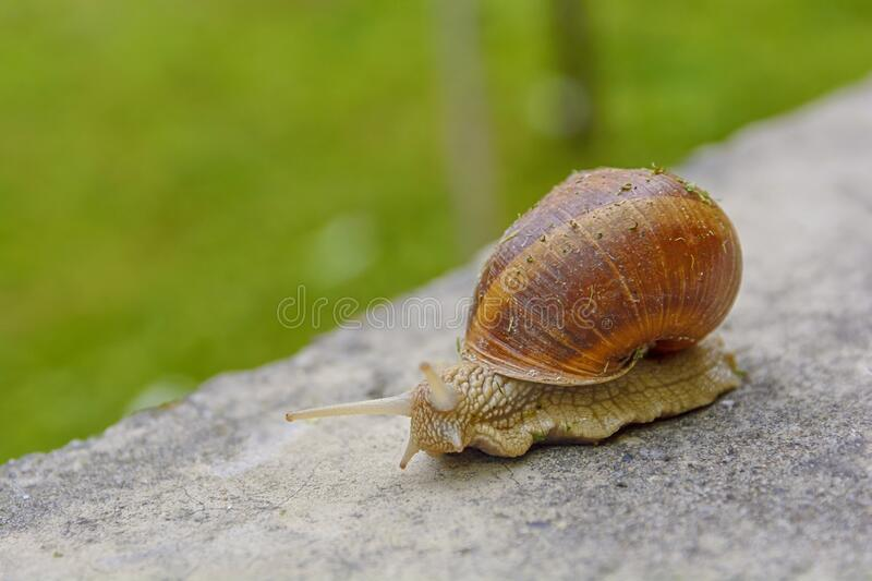 Big snail in shell crawling on road, summer day in green with green grass stock photo