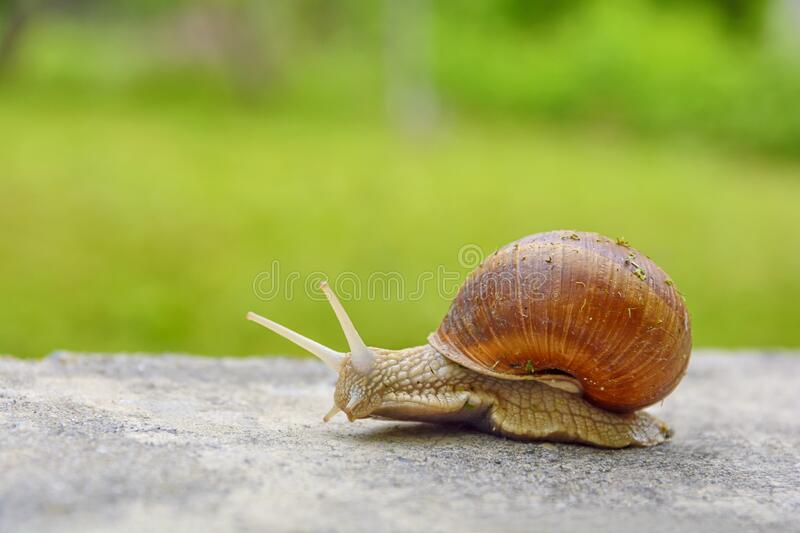 Big snail in shell crawling on road, summer day in green with green grass royalty free stock images