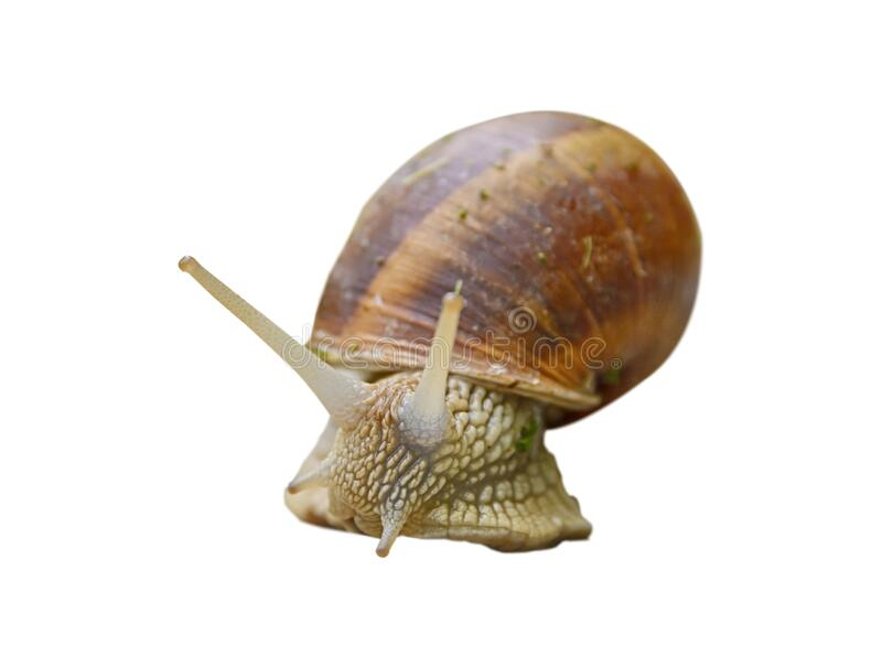 Big snail in shell isolated on white background stock image