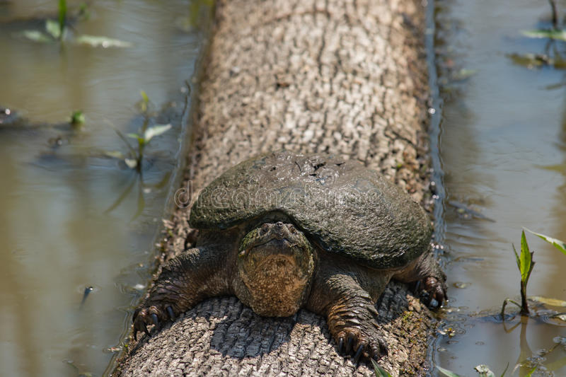 Big snapping turtle on a log in wetland area. A young snapping turtle catches some sun as it rests on a fallen tree in a wetland area. This photograph was taken royalty free stock images