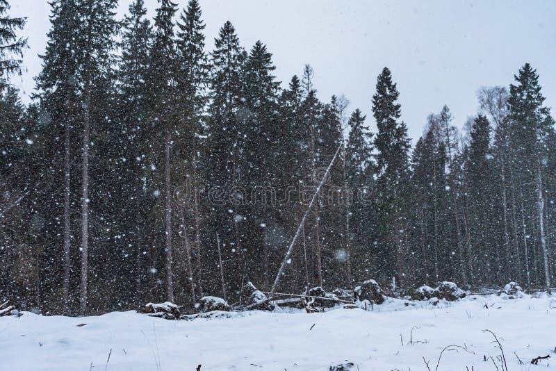 Big snowflakes of snowfall with a dark pine forest on the background. The big snowflakes of snowfall with a dark pine forest on the background royalty free stock photo
