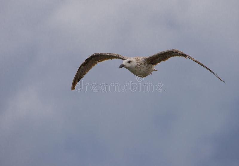 plane gull bird alone in the sky on blue background stock photo