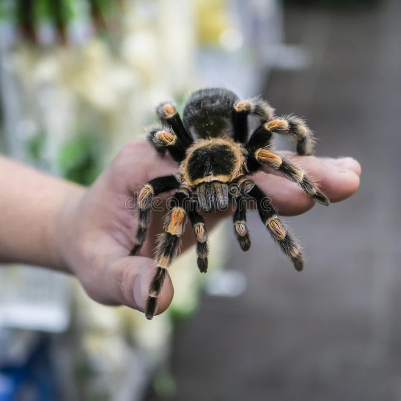 Big spider tarantula sits crawling on the man`s arm royalty free stock images