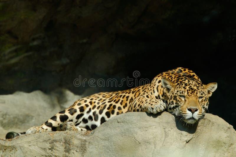 Big spotted cat Sri Lankan leopard, Panthera pardus kotiya, lying on the stone in the rock, Yala national park, Sri Lanka. Asia royalty free stock photos