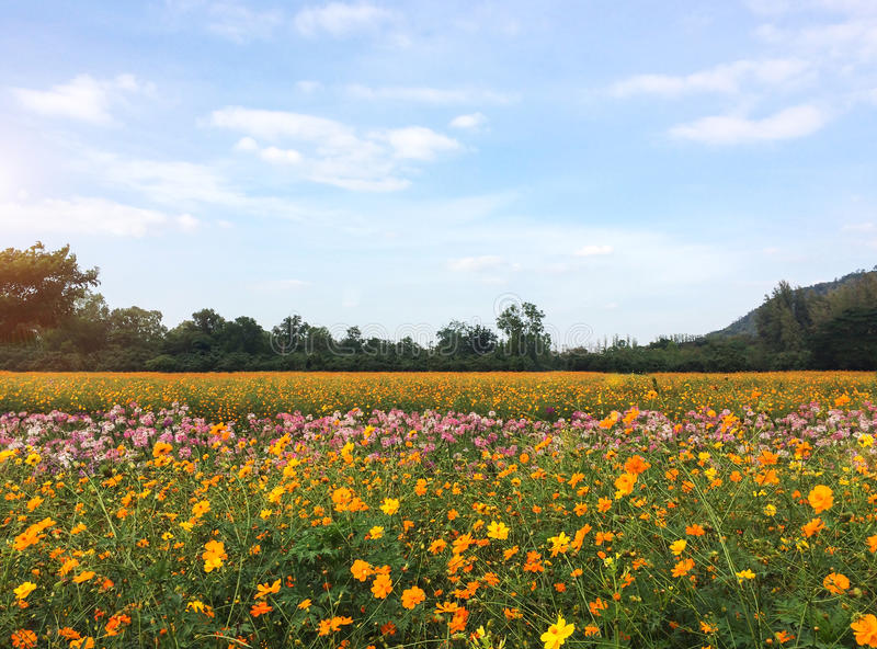 Big Spring Fields Concept. Meadow with Blooming Pink, Orange, White Cosmos Flowers in Spring Season at The Corner with Copyspace stock photos