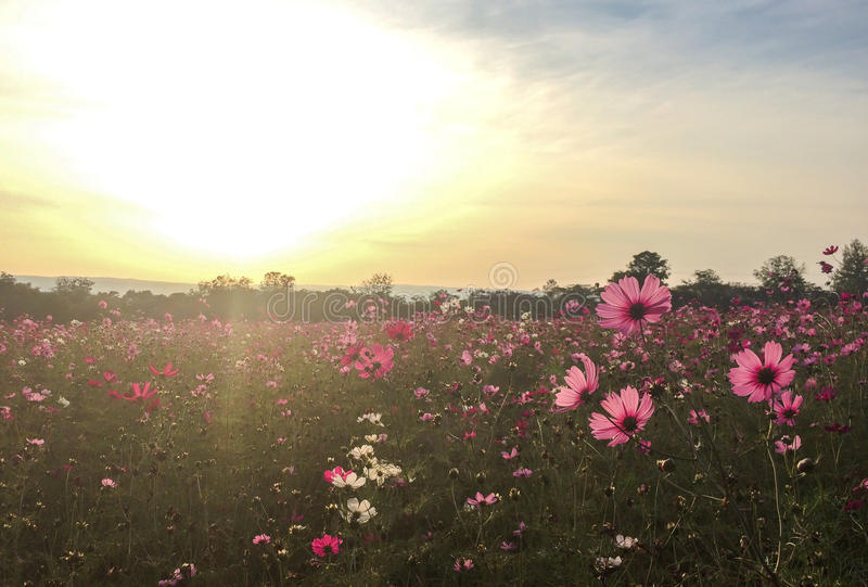Big Spring Fields Concept. Meadow with Blooming Pink and White Cosmos Flowers in Spring Season at The Corner with Copyspace stock photo