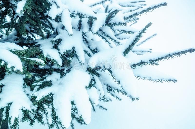 Big spruce branch in the snow. Christmas tree in the garden in winter. Snowy Christmas background.  royalty free stock photos