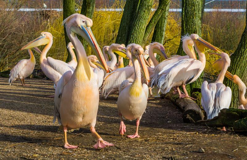 Big squadron of rosy pelicans together, big group of birds, pelican family portrait. A big squadron of rosy pelicans together, big group of birds, pelican family stock photography