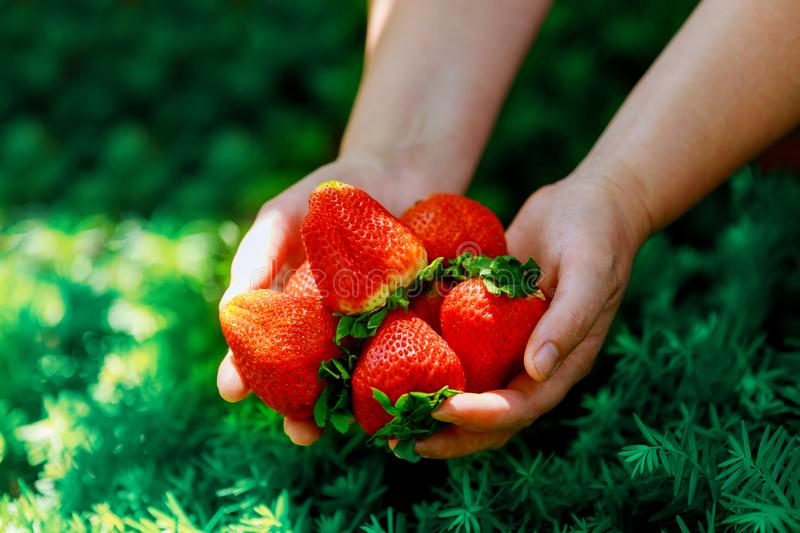 Big stawberries in woman s hands on green grass background stock photo