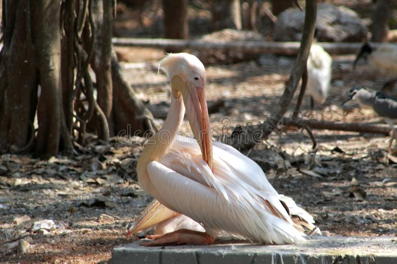 Big stork sitting silently in a zoo royalty free stock image