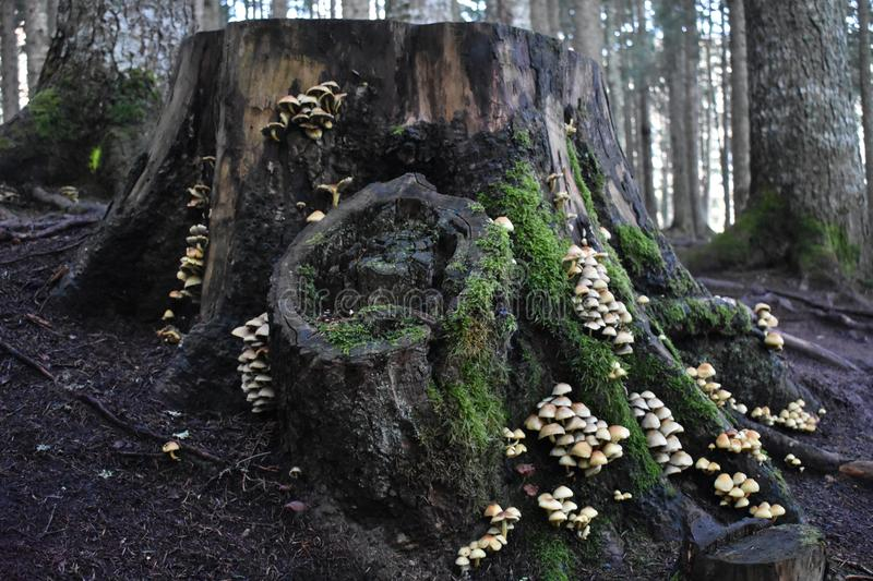The big stump covered with the many mushrooms and moss royalty free stock photo