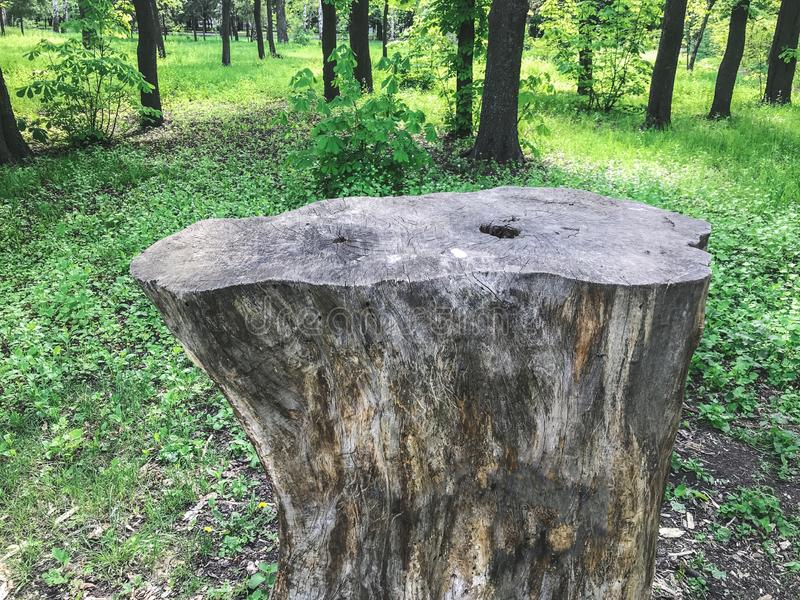 The big stump in the greenwood. Kharkov, Ukraine.  royalty free stock images