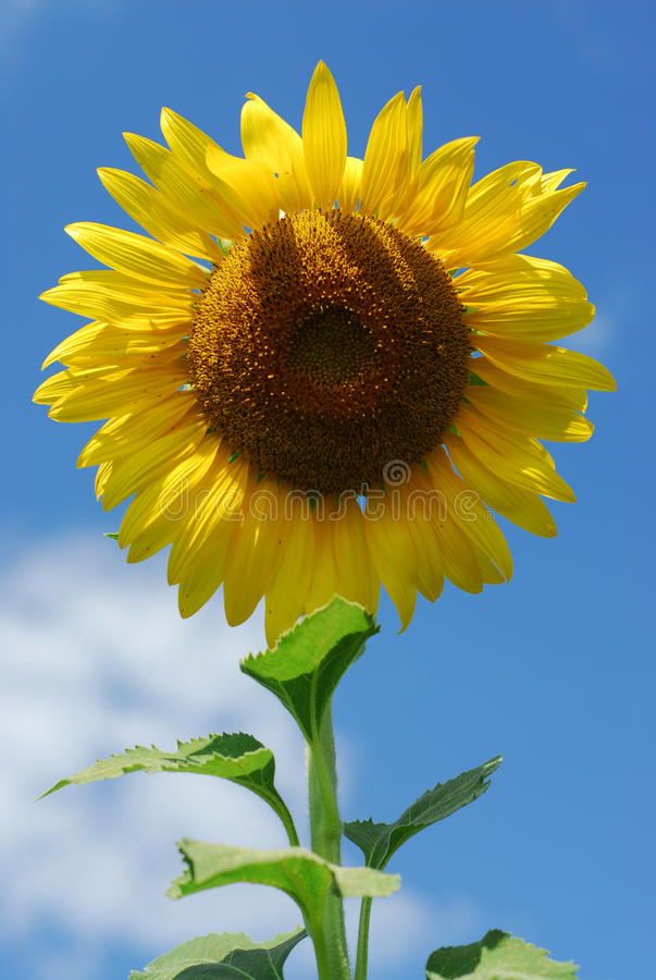 Big sunflower in the garden and blue sky royalty free stock images