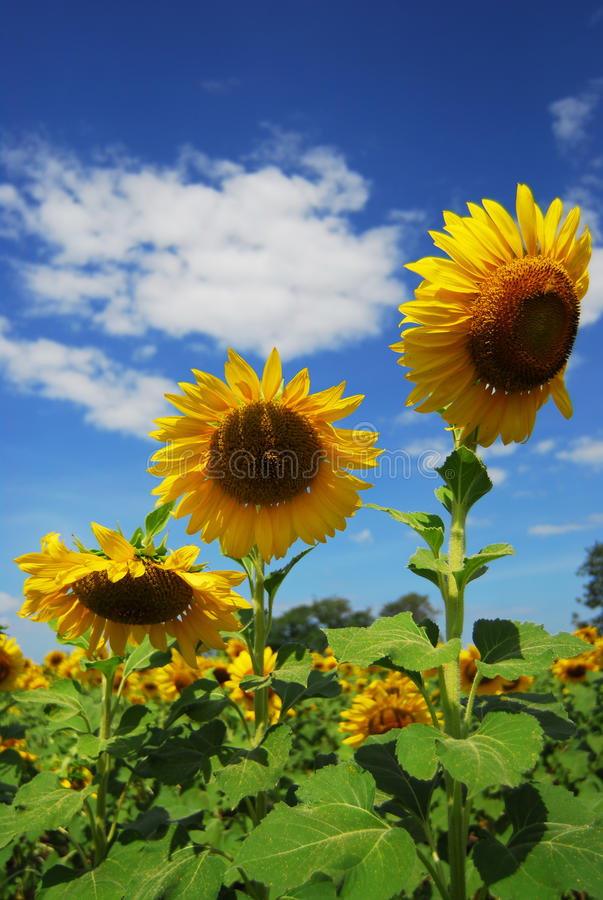 Big sunflower in the garden and blue sky stock photography