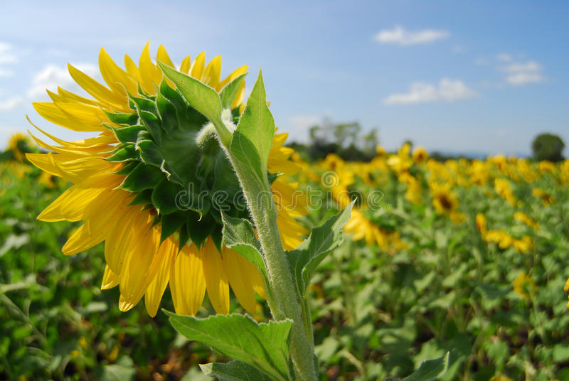 Big sunflower in the garden and blue sky royalty free stock image