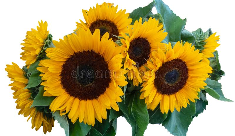 Big Sunflowers Bunch with green leaves, isolated on White Background royalty free stock photos