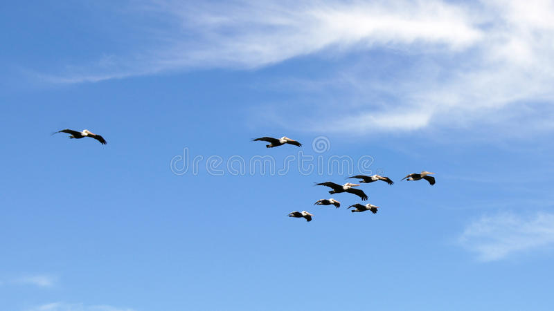 BIG SUR, CALIFORNIA, UNITED STATES - OCT 7, 2014: Brown Pelicans Flying along the coast between Monterey and Pismo Beach. In CA Hwy No 1, USA royalty free stock photo
