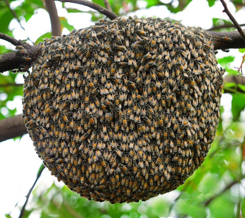 Big swarm bee on tree. In nature garden royalty free stock photos