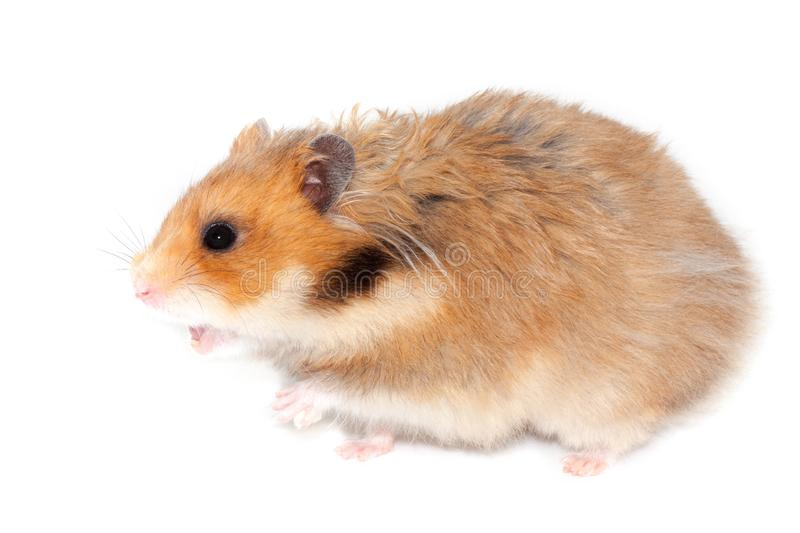 Big syrian hamster screams or wants to attack royalty free stock photos