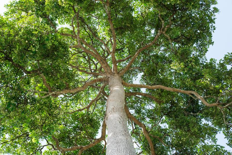 Big tall tree in the forest, looking up to treetop view royalty free stock photo