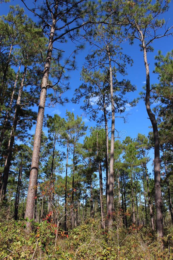 Free Big Thicket Trees Royalty Free Stock Images - 62423879