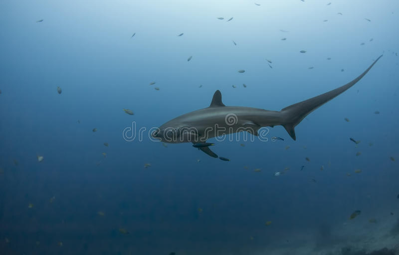 Big thresher shark. In the blue water dive in malapascua in philippines