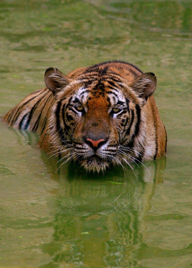 Big tiger hunts, Thailand. Big Indo-Chinese tiger hunts , Tiger Temple, Thailand stock photography