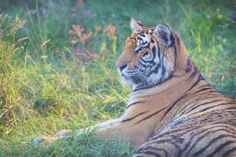 Big tiger lies in grass royalty free stock image