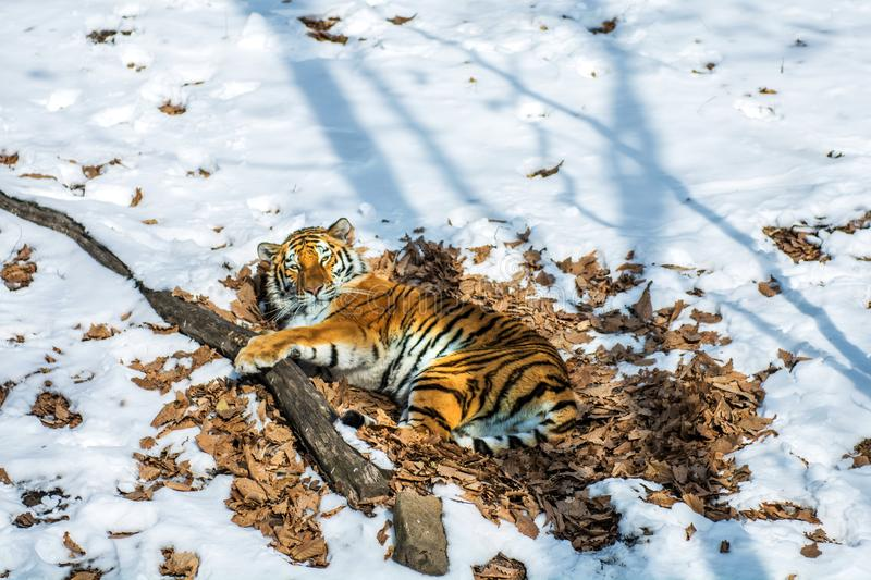 Big tiger in the snow, the beautiful, wild, striped cat, in open Woods, looking directly at us. Snowy winter in the taiga stock photo
