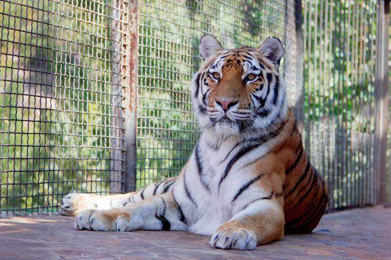 Big tiger in the Zoo. Siberian tiger Panthera tigris altaica stock image