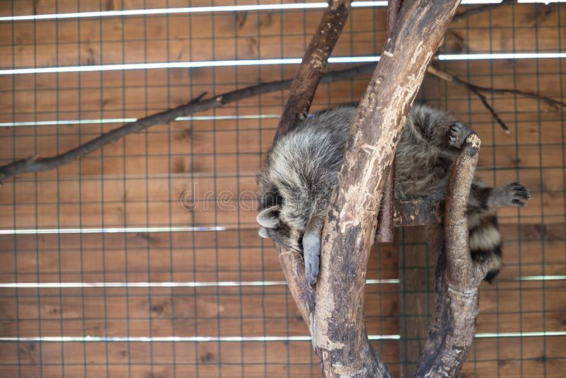 Big tired raccoon sleeping on a tree on a country safari farm. Relaxation, comfort. Copy space, humor concept stock photos