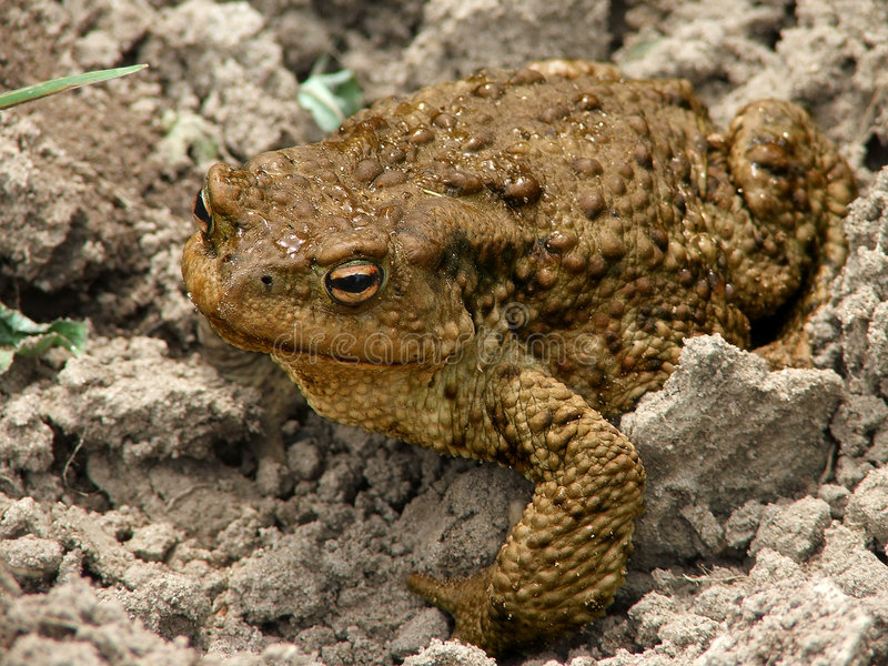 Download The big toad stock image. Image of disgust, macro, kowtowing - 157783