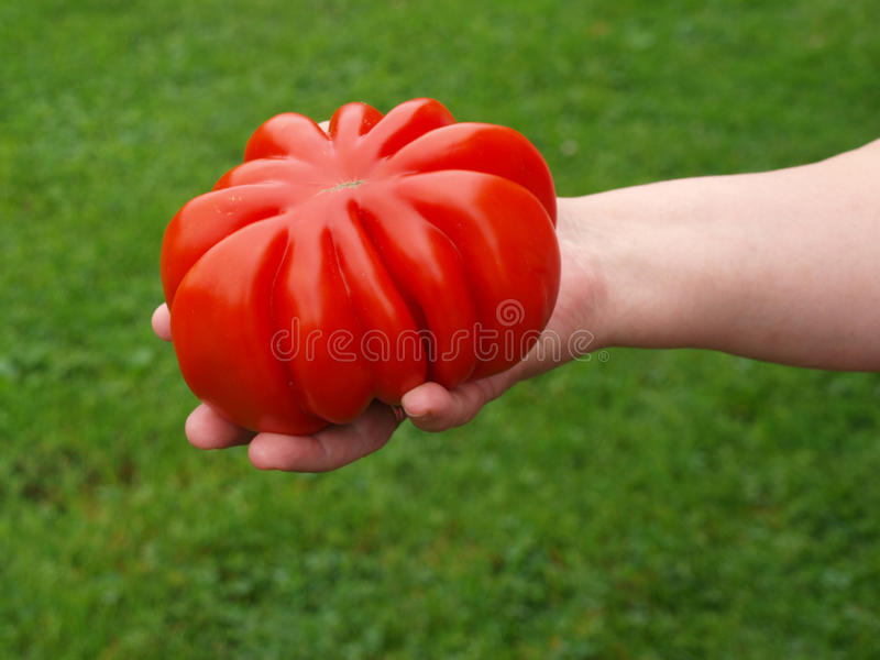 Download Big tomato stock image. Image of close, tasty, green - 26396069